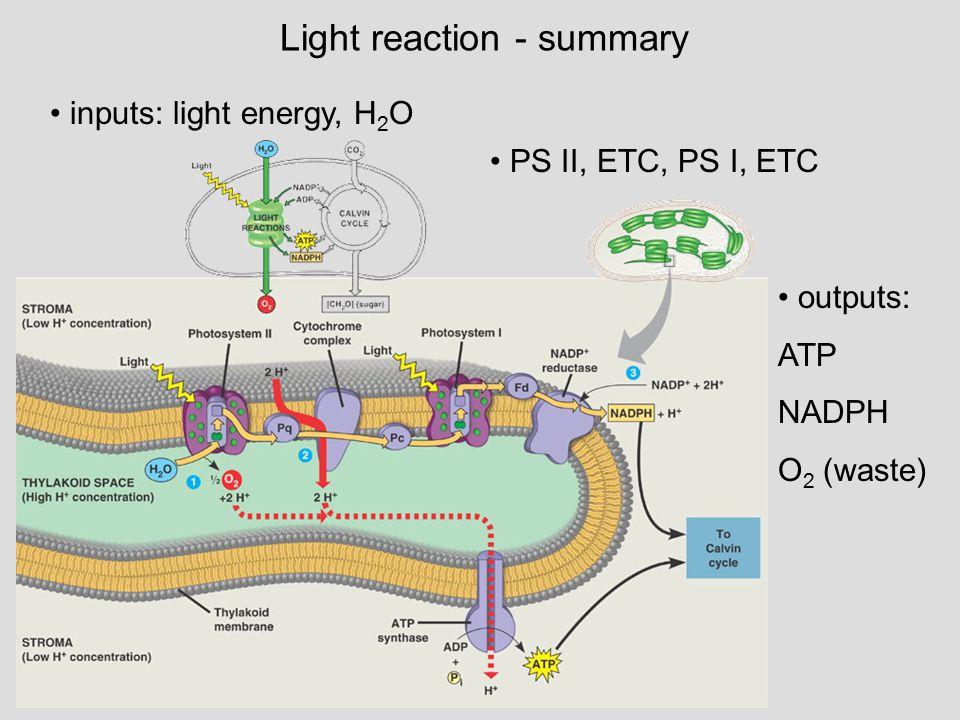 Light reaction - summary inputs: light energy, H 2 O PS II, ETC, PS I, ETC outputs: ATP NADPH O 2 (waste)