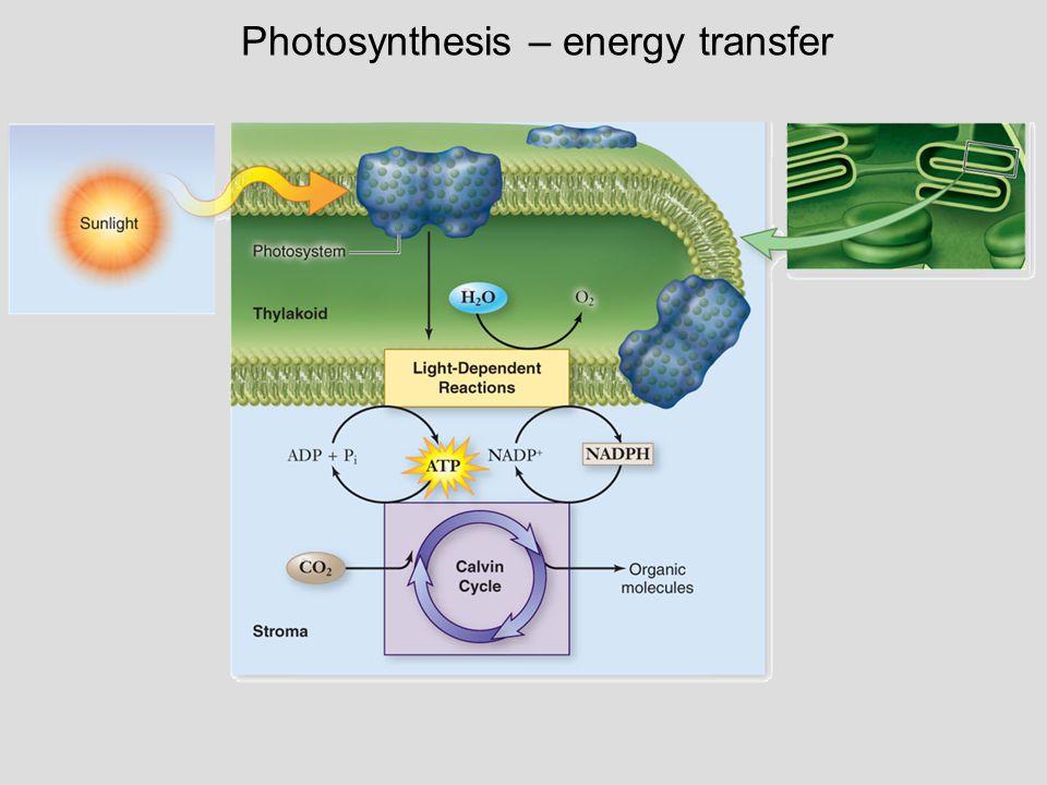 Photosynthesis – energy transfer