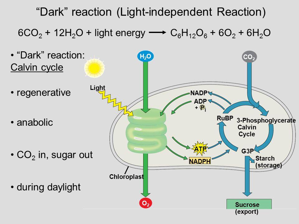 """Dark"" reaction (Light-independent Reaction) 6CO 2 + 12H 2 O + light energy C 6 H 12 O 6 + 6O 2 + 6H 2 O ""Dark"" reaction: Calvin cycle regenerative an"