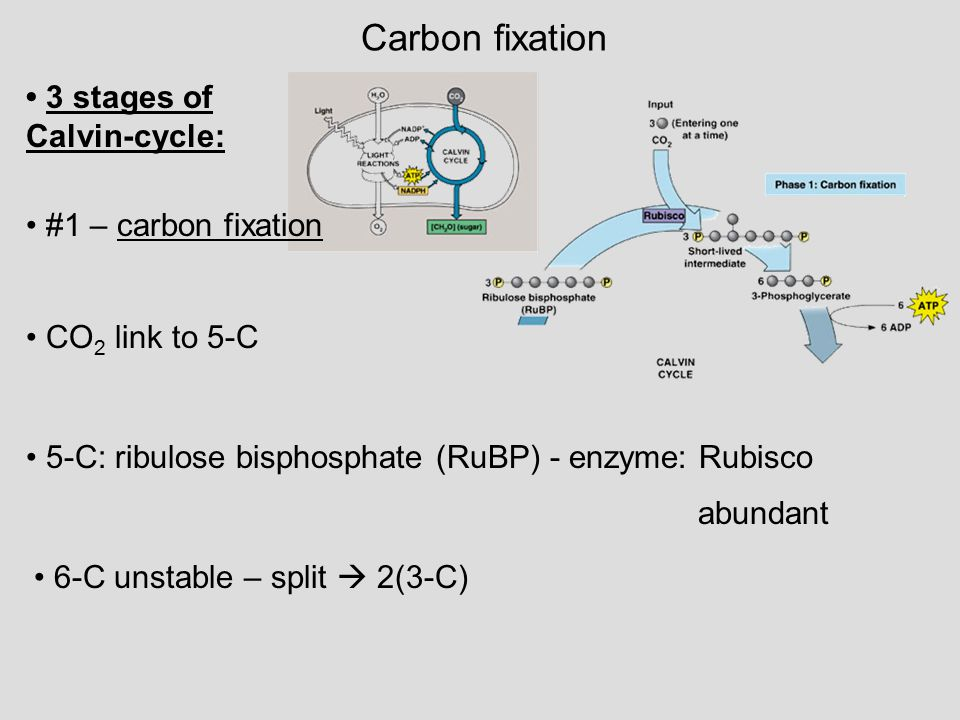 Carbon fixation 3 stages of Calvin-cycle: #1 – carbon fixation CO 2 link to 5-C 5-C: ribulose bisphosphate (RuBP) - enzyme: Rubisco abundant 6-C unsta