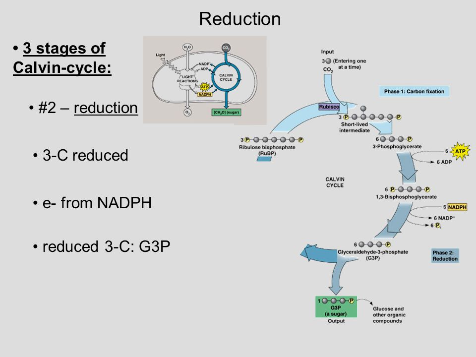 Reduction #2 – reduction reduced 3-C: G3P 3-C reduced e- from NADPH 3 stages of Calvin-cycle: