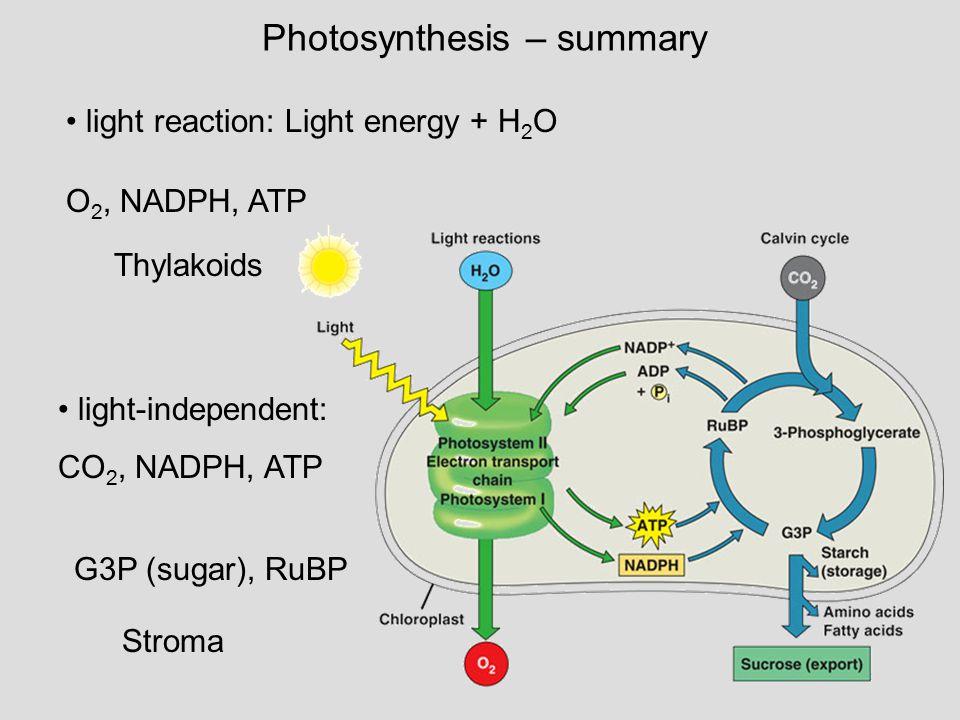 Photosynthesis – summary light reaction: Light energy + H 2 O light-independent: CO 2, NADPH, ATP O 2, NADPH, ATP Thylakoids G3P (sugar), RuBP Stroma