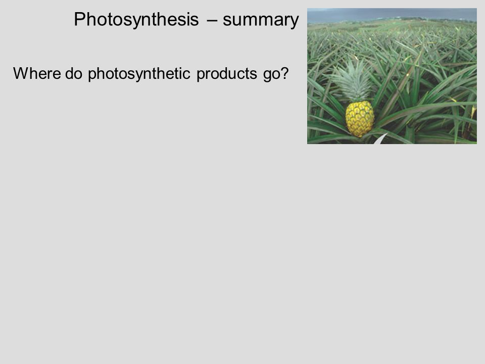 Photosynthesis – summary Where do photosynthetic products go?
