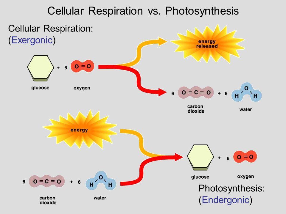 Cellular Respiration: (Exergonic) Photosynthesis: (Endergonic) Cellular Respiration vs. Photosynthesis