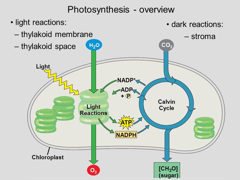 Photosynthesis - overview – thylakoid membrane – thylakoid space – stroma light reactions: dark reactions: Light H2OH2O Chloroplast Light Reactions NA