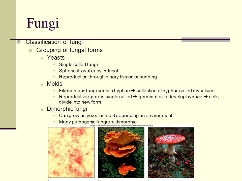 Classification of fungi Grouping of fungal forms Yeasts  Single celled fungi  Spherical, oval or cylindrical  Reproduction through binary fission o