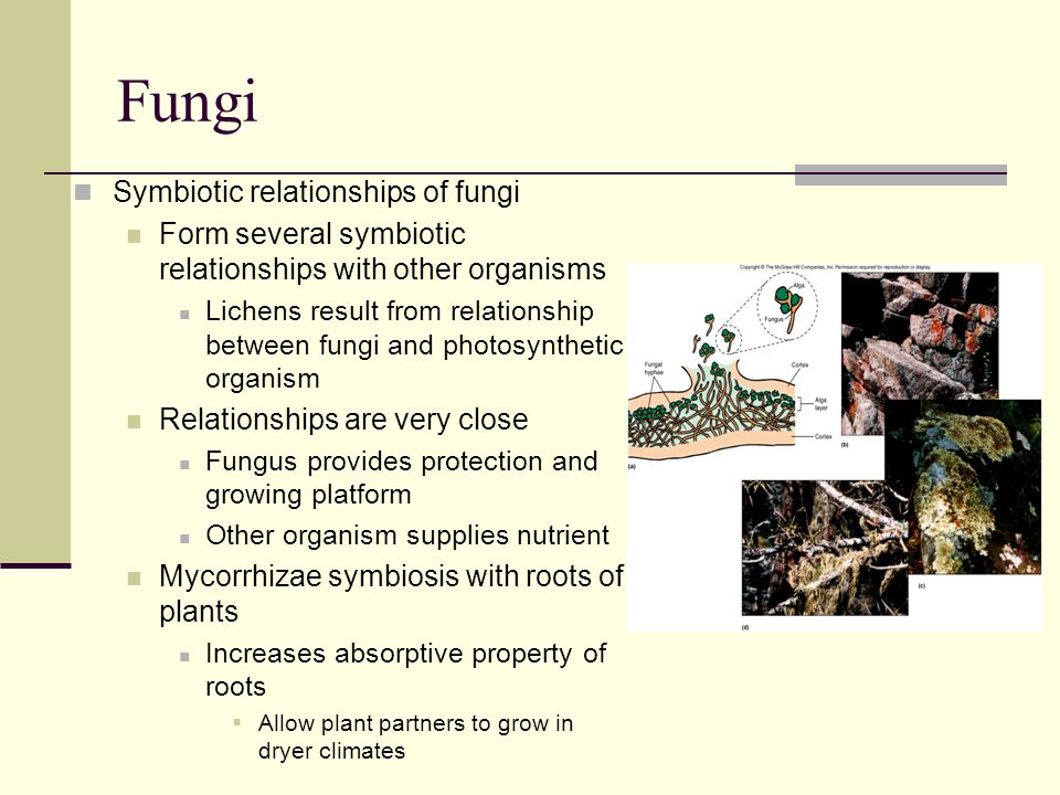Fungi Symbiotic relationships of fungi Form several symbiotic relationships with other organisms Lichens result from relationship between fungi and ph