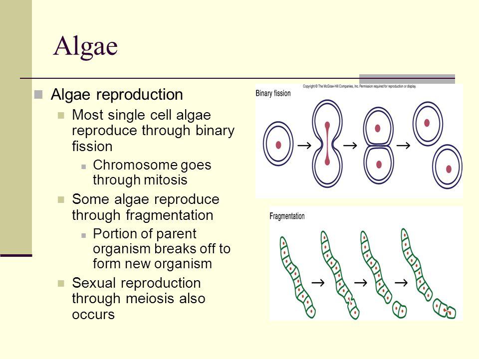 Algae Algae reproduction Most single cell algae reproduce through binary fission Chromosome goes through mitosis Some algae reproduce through fragment