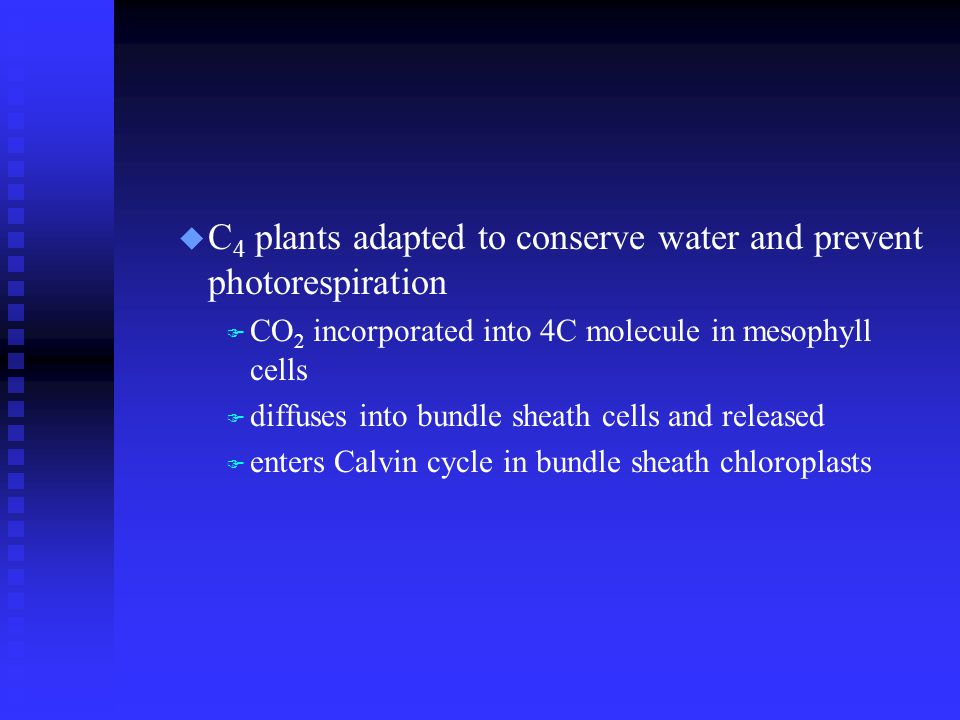 u C 4 plants adapted to conserve water and prevent photorespiration F CO 2 incorporated into 4C molecule in mesophyll cells F diffuses into bundle sheath cells and released F enters Calvin cycle in bundle sheath chloroplasts
