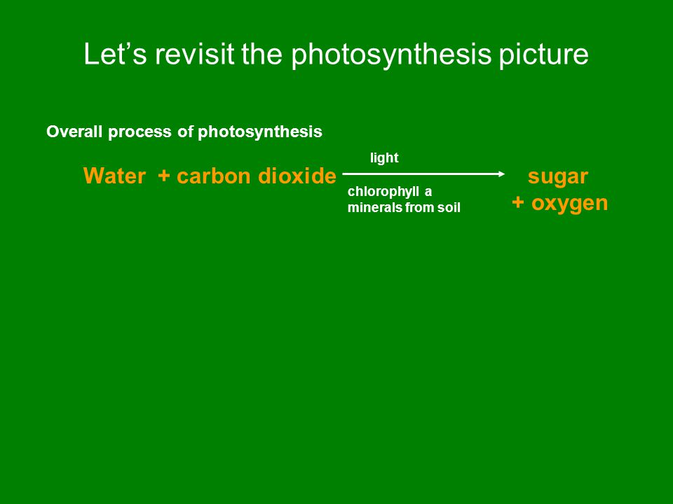 Let's revisit the photosynthesis picture Overall process of photosynthesis Water + carbon dioxide sugar + oxygen light chlorophyll a minerals from soil