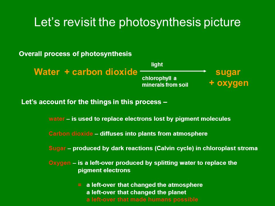 Let's revisit the photosynthesis picture Overall process of photosynthesis Water + carbon dioxide sugar + oxygen light chlorophyll a minerals from soil Let's account for the things in this process – water – is used to replace electrons lost by pigment molecules Carbon dioxide – diffuses into plants from atmosphere Sugar – produced by dark reactions (Calvin cycle) in chloroplast stroma Oxygen – is a left-over produced by splitting water to replace the pigment electrons = a left-over that changed the atmosphere a left-over that changed the planet a left-over that made humans possible