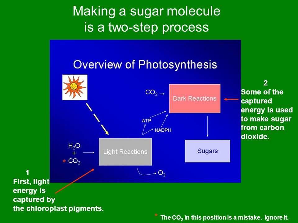 Making a sugar molecule is a two-step process 1 First, light energy is captured by the chloroplast pigments.