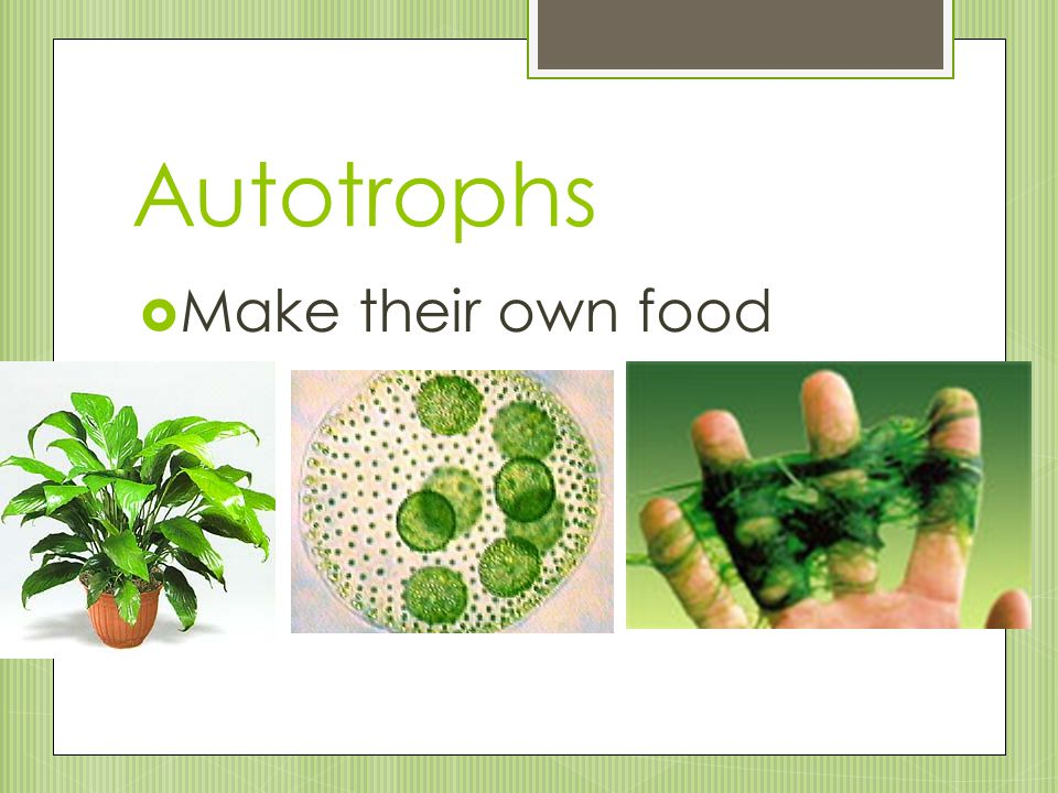 Autotrophs  Make their own food