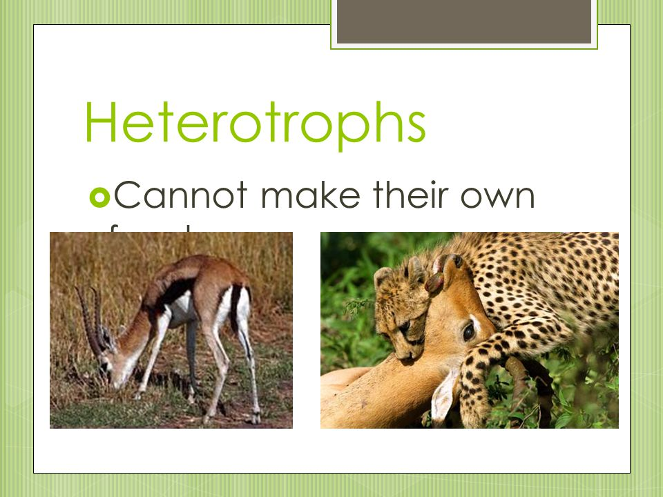 Heterotrophs  Cannot make their own food