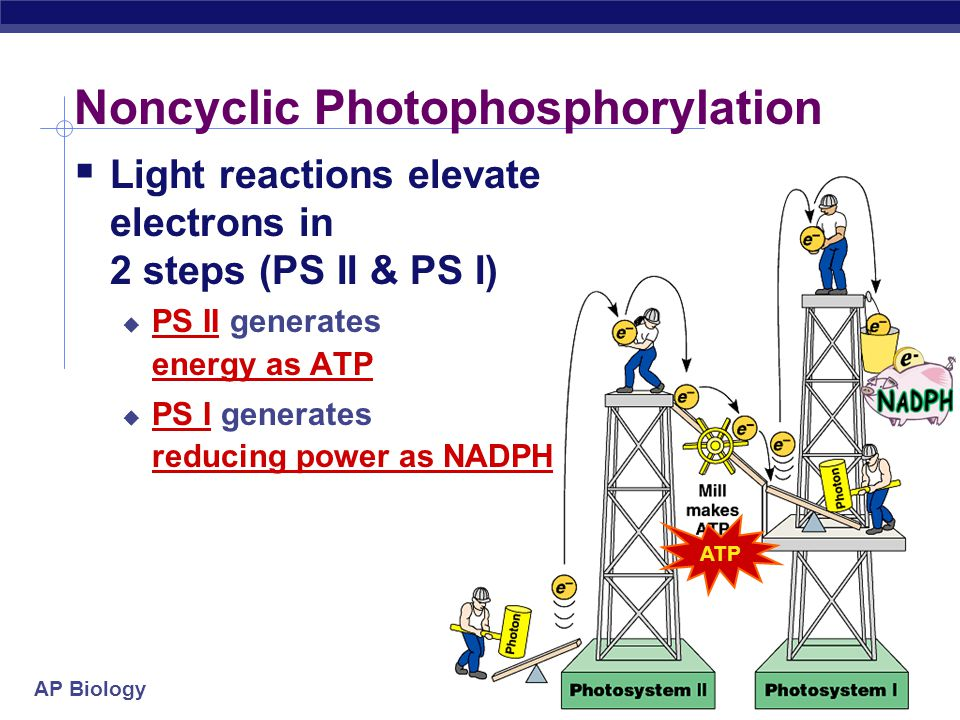 AP Biology ETC of Photosynthesis  ETC uses light energy to produce  ATP & NADPH  go to Calvin cycle  PS II absorbs light  excited electron passes