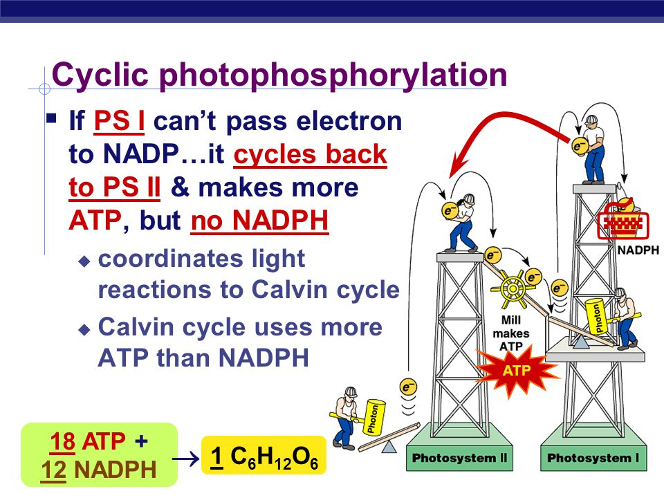 AP Biology Noncyclic Photophosphorylation  Light reactions elevate electrons in 2 steps (PS II & PS I)  PS II generates energy as ATP  PS I generat