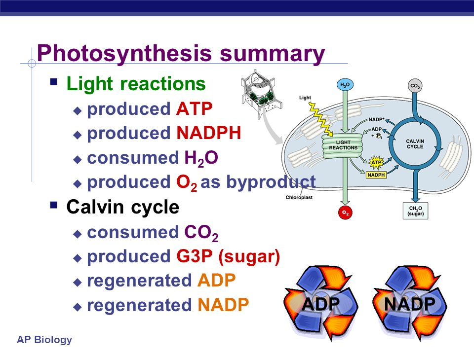 AP Biology Accounting  The accounting is complicated  3 turns of Calvin cycle = 1 G3P  3 CO 2  1 G3P (3C)  6 turns of Calvin cycle = 1 C 6 H 12 O
