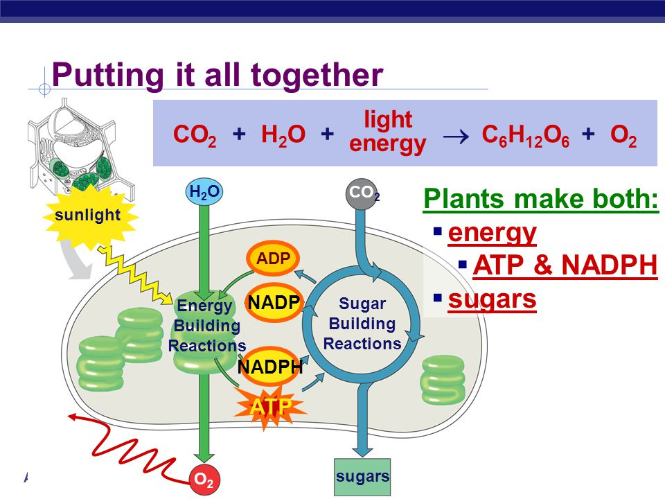 AP Biology Calvin Cycle sugars CO 2 Sugar Building Reactions ADP  builds sugars  uses ATP & NADPH  recycles ADP & NADP  back to make more ATP & NADPH ATP NADPH NADP CO 2 C 6 H 12 O 6  +++ NADPATP + NADPHADP