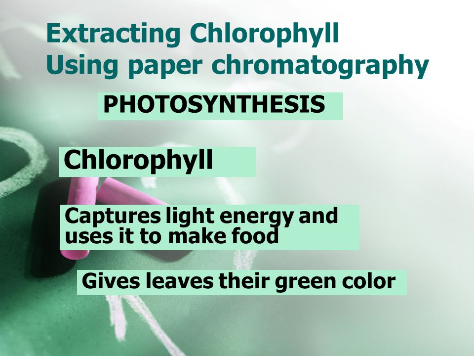 Extracting Chlorophyll Using paper chromatography PHOTOSYNTHESIS Chlorophyll Captures light energy and uses it to make food Gives leaves their green c