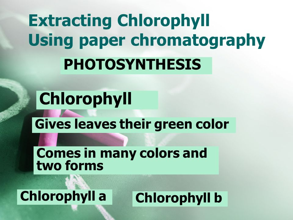 Extracting Chlorophyll Using paper chromatography PHOTOSYNTHESIS Chlorophyll Gives leaves their green color Comes in many colors and two forms Chlorop