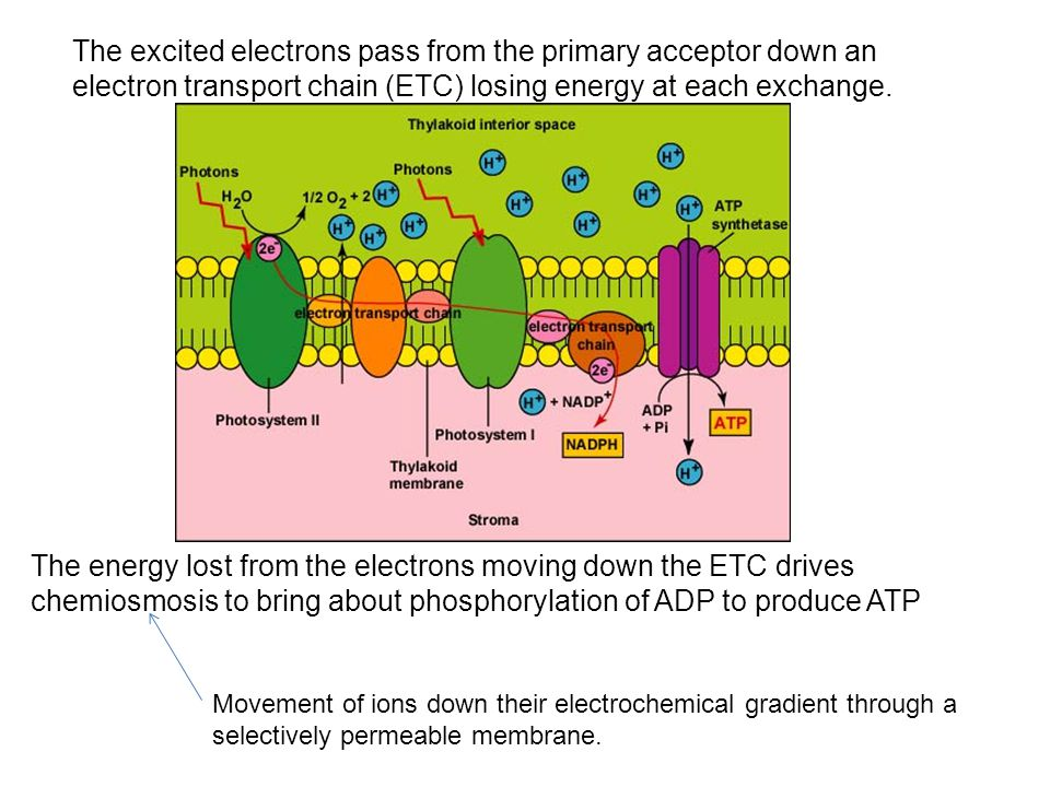 The excited electrons pass from the primary acceptor down an electron transport chain (ETC) losing energy at each exchange.