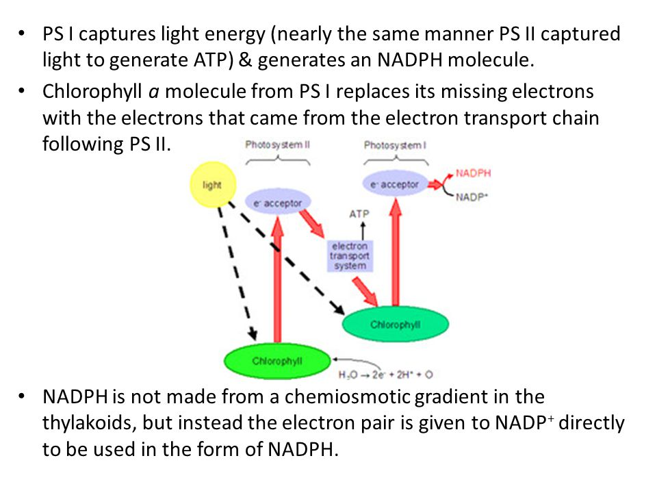 PS I captures light energy (nearly the same manner PS II captured light to generate ATP) & generates an NADPH molecule.