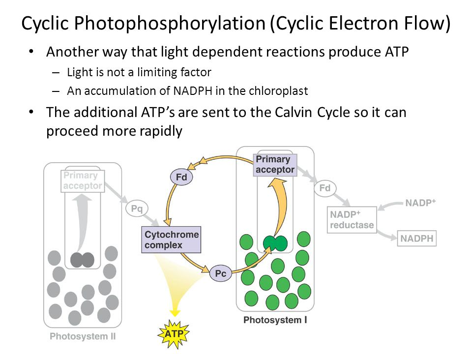 Cyclic Photophosphorylation (Cyclic Electron Flow) Another way that light dependent reactions produce ATP – Light is not a limiting factor – An accumulation of NADPH in the chloroplast The additional ATP's are sent to the Calvin Cycle so it can proceed more rapidly