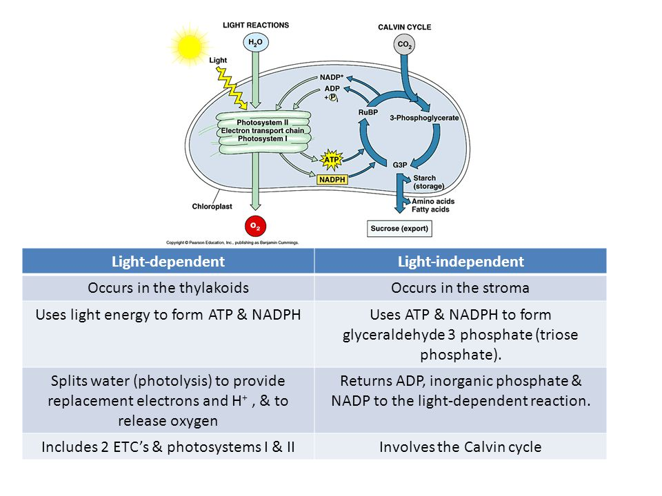 Light-dependentLight-independent Occurs in the thylakoidsOccurs in the stroma Uses light energy to form ATP & NADPHUses ATP & NADPH to form glyceraldehyde 3 phosphate (triose phosphate).