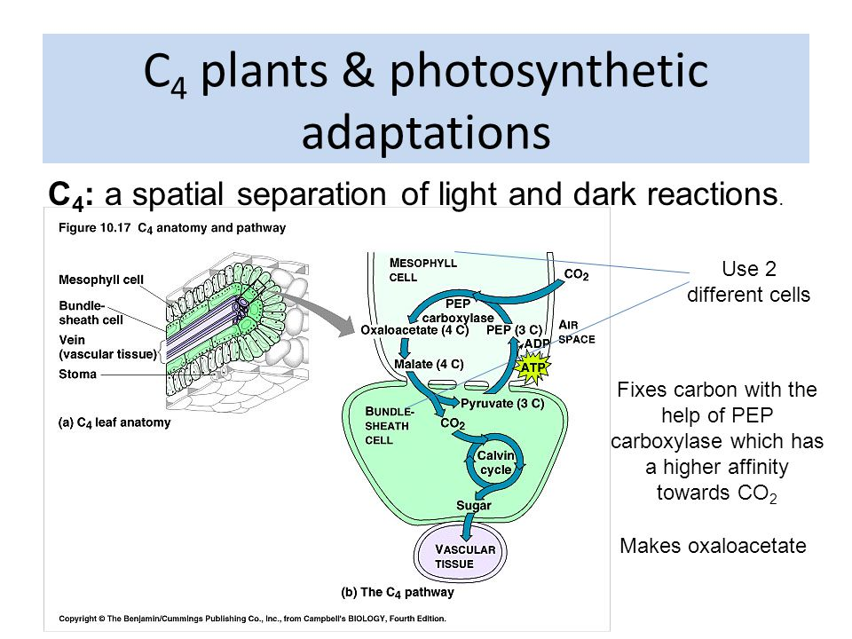 C 4 : a spatial separation of light and dark reactions.