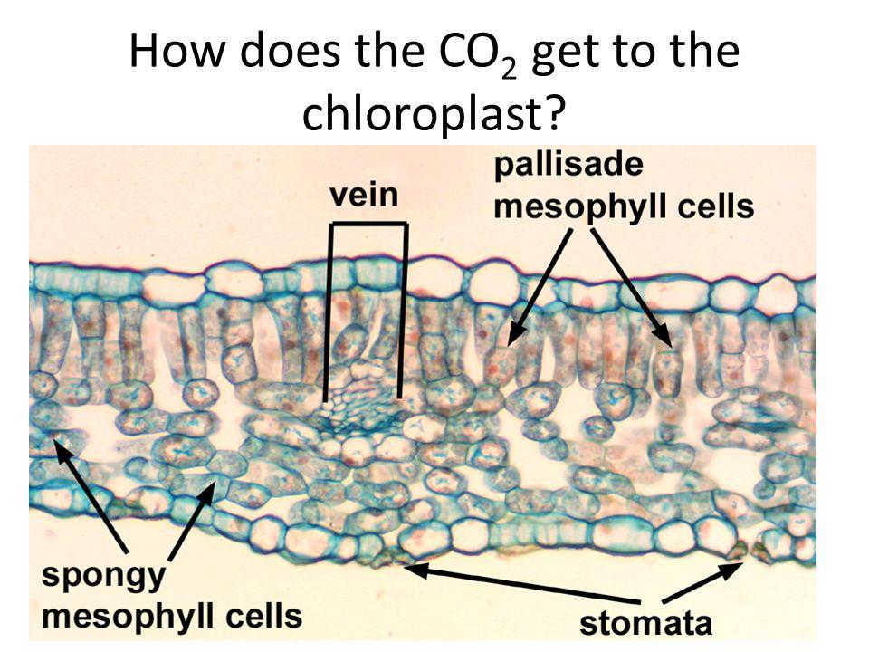 Inner Membrane Outer Membrane Thylakoid Stroma