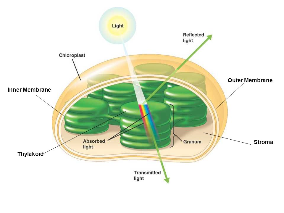 Photosystem II Collects photons from the surrounding pigments embedded in the thylakoid membranes & uses that gathered energy to excite two electrons on a chlorophyll a molecule in the reaction center (also embedded in the thylakoid membrane).