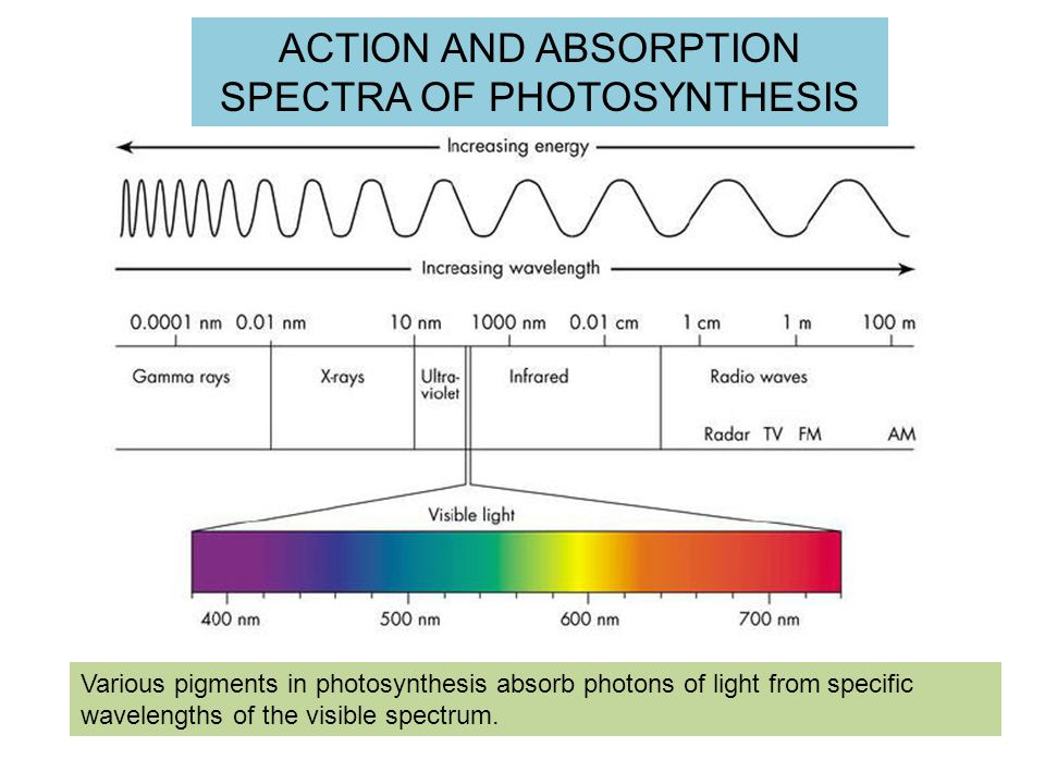 ACTION AND ABSORPTION SPECTRA OF PHOTOSYNTHESIS Various pigments in photosynthesis absorb photons of light from specific wavelengths of the visible spectrum.