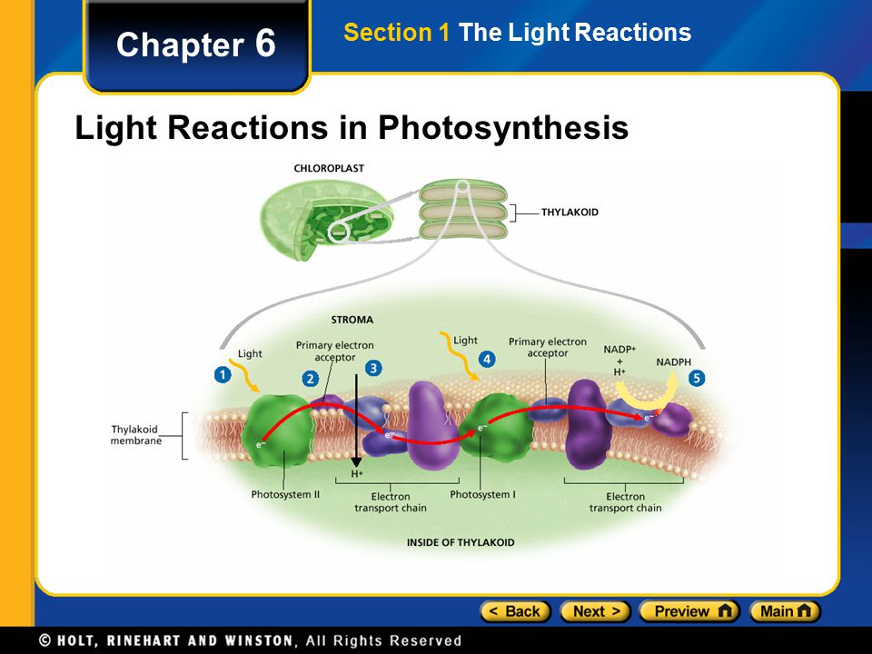 Section 1 The Light Reactions Chapter 6 Light Reactions in Photosynthesis