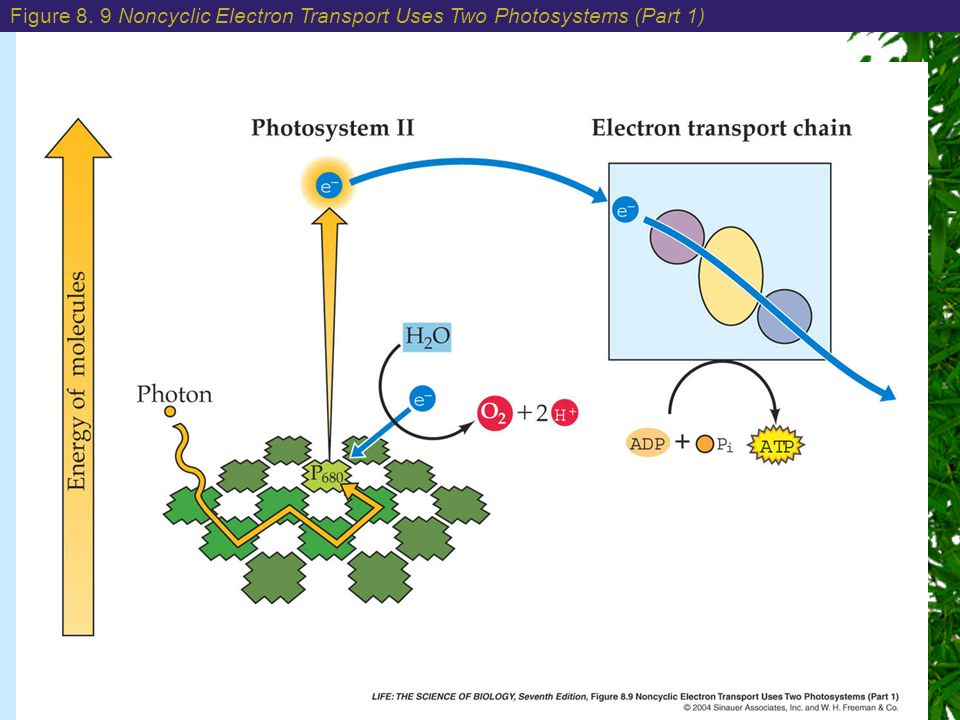 Chapter 8: Photosynthesis: Energy from the Sun Figure 8.