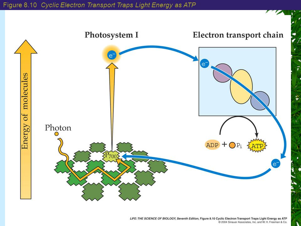 Chapter 8: Photosynthesis: Energy from the Sun Figure 8.10 Cyclic Electron Transport Traps Light Energy as ATP