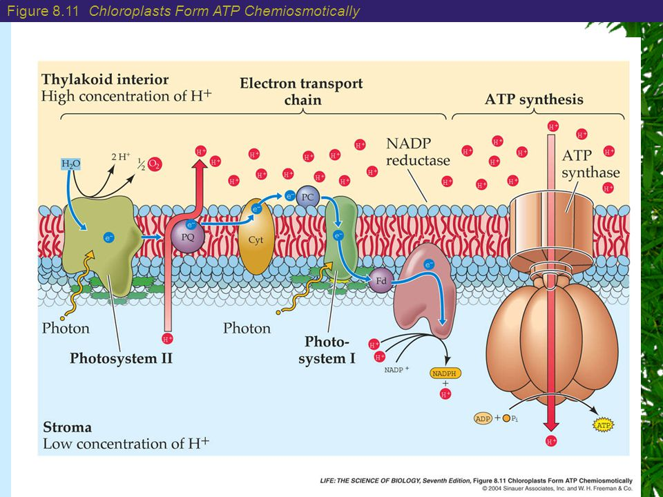 Chapter 8: Photosynthesis: Energy from the Sun Figure 8.11 Chloroplasts Form ATP Chemiosmotically