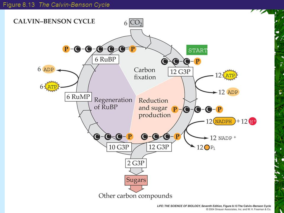 Chapter 8: Photosynthesis: Energy from the Sun Figure 8.13 The Calvin-Benson Cycle