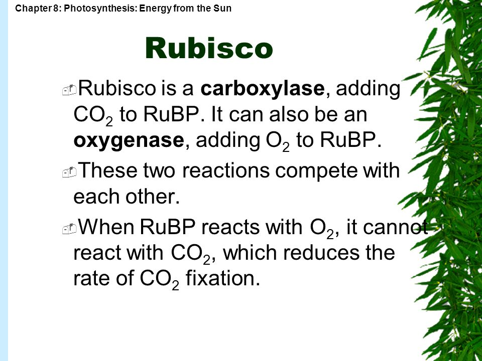 Chapter 8: Photosynthesis: Energy from the Sun Rubisco  Rubisco is a carboxylase, adding CO 2 to RuBP.