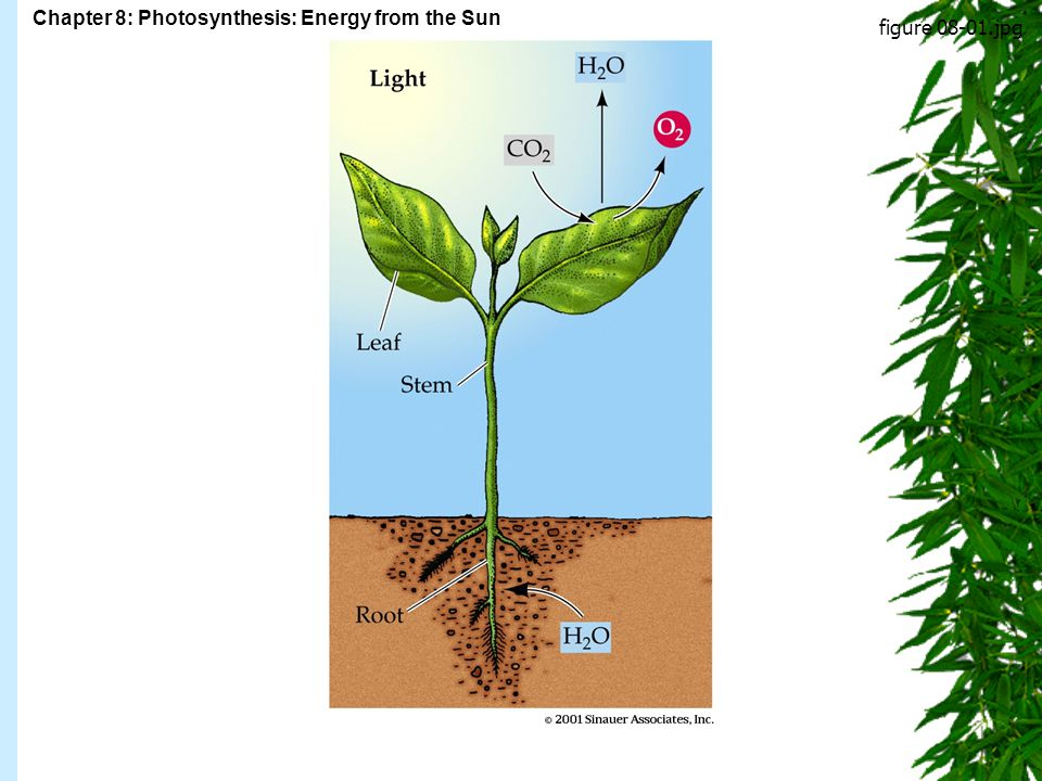 Chapter 8: Photosynthesis: Energy from the Sun Figure 8.1 figure 08-01.jpg