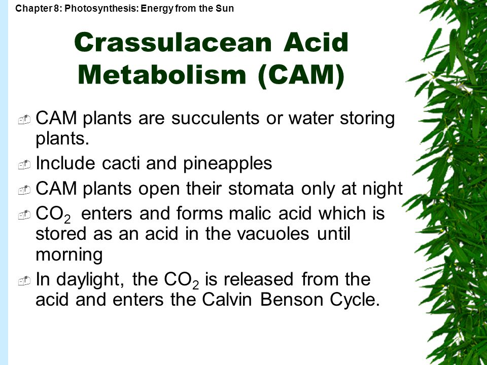 Chapter 8: Photosynthesis: Energy from the Sun Crassulacean Acid Metabolism (CAM)  CAM plants are succulents or water storing plants.
