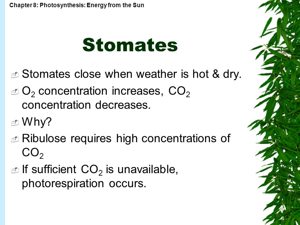 Chapter 8: Photosynthesis: Energy from the Sun Stomates  Stomates close when weather is hot & dry.