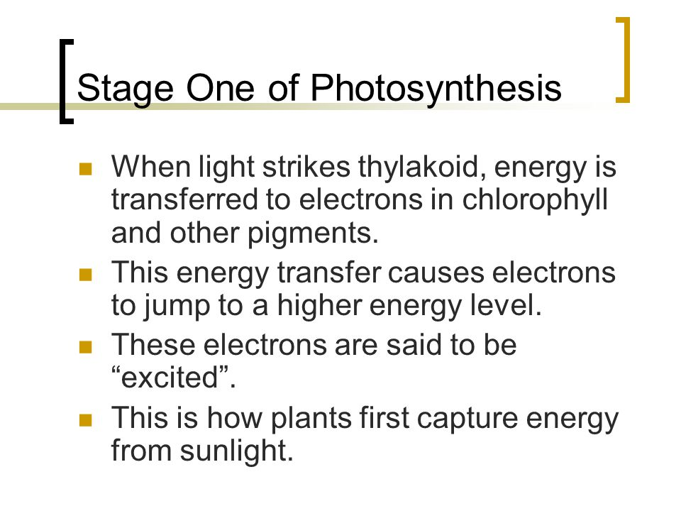 Stage One of Photosynthesis When light strikes thylakoid, energy is transferred to electrons in chlorophyll and other pigments. This energy transfer c