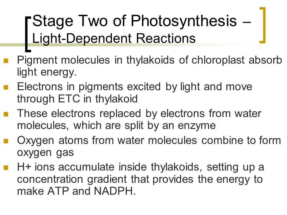 Stage Two of Photosynthesis – Light-Dependent Reactions Pigment molecules in thylakoids of chloroplast absorb light energy. Electrons in pigments exci