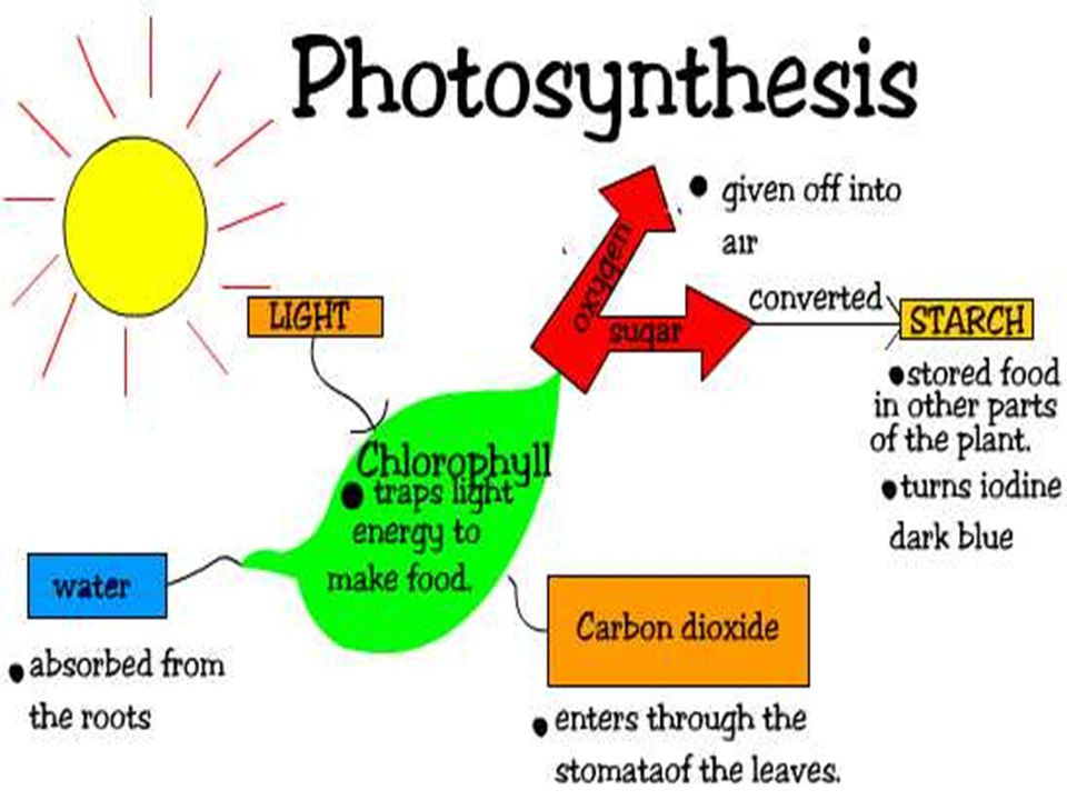 Stage Two of Photosynthesis In this stage, light is converted to chemical energy.