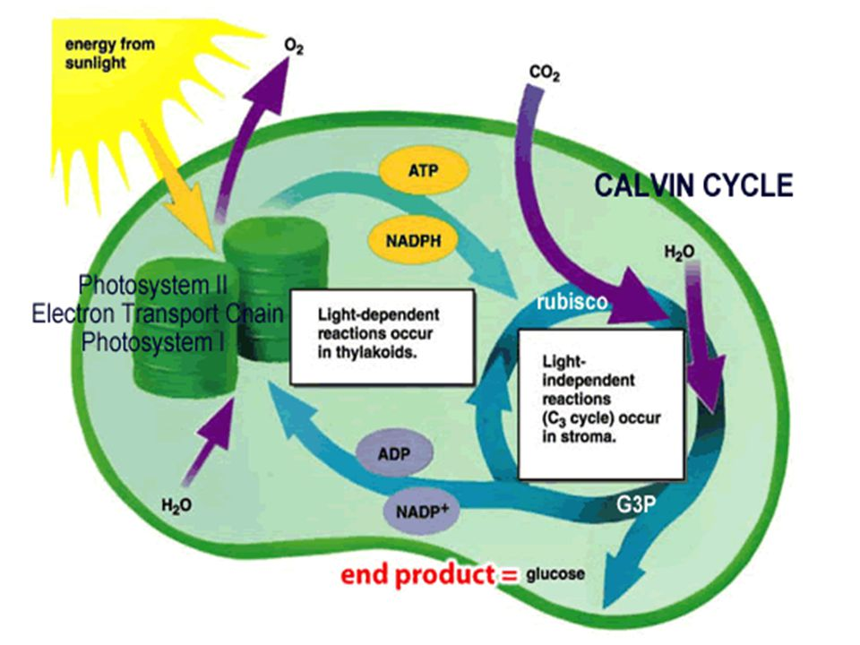 Stage One of Photosynthesis Light energy is absorbed These reactions are often called light reactions or light-dependent reactions because the absorption of light has to occur for the reactions to proceed Light energy is used to make energy- storing compounds