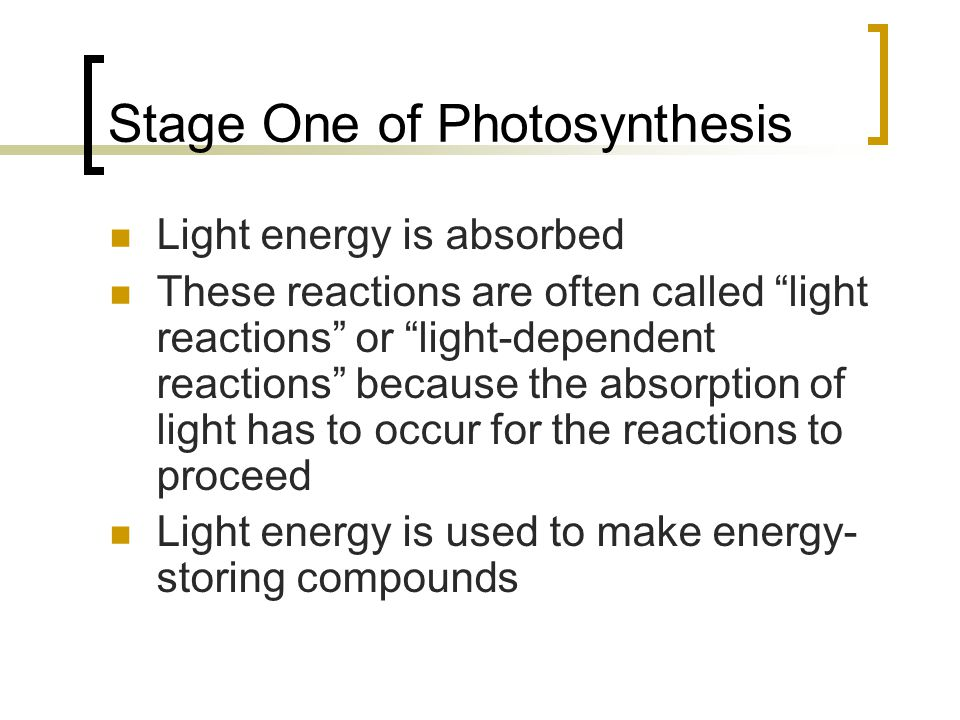 """Stage One of Photosynthesis Light energy is absorbed These reactions are often called """"light reactions"""" or """"light-dependent reactions"""" because the abs"""