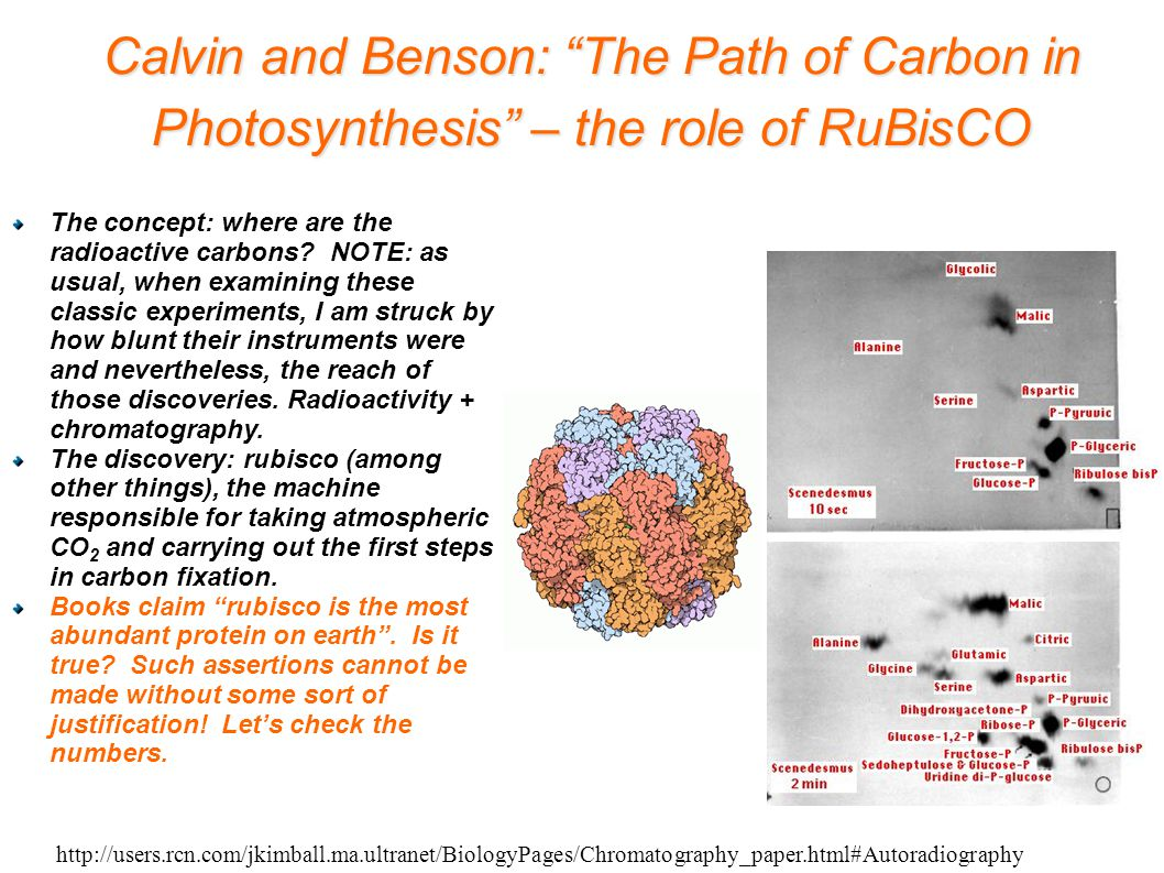 http://users.rcn.com/jkimball.ma.ultranet/BiologyPages/Chromatography_paper.html#Autoradiography Calvin and Benson: The Path of Carbon in Photosynthesis – the role of RuBisCO The concept: where are the radioactive carbons.