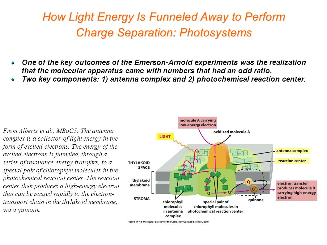How Light Energy Is Funneled Away to Perform Charge Separation: Photosystems From Alberts et al., MBoC5: The antenna complex is a collector of light energy in the form of excited electrons.