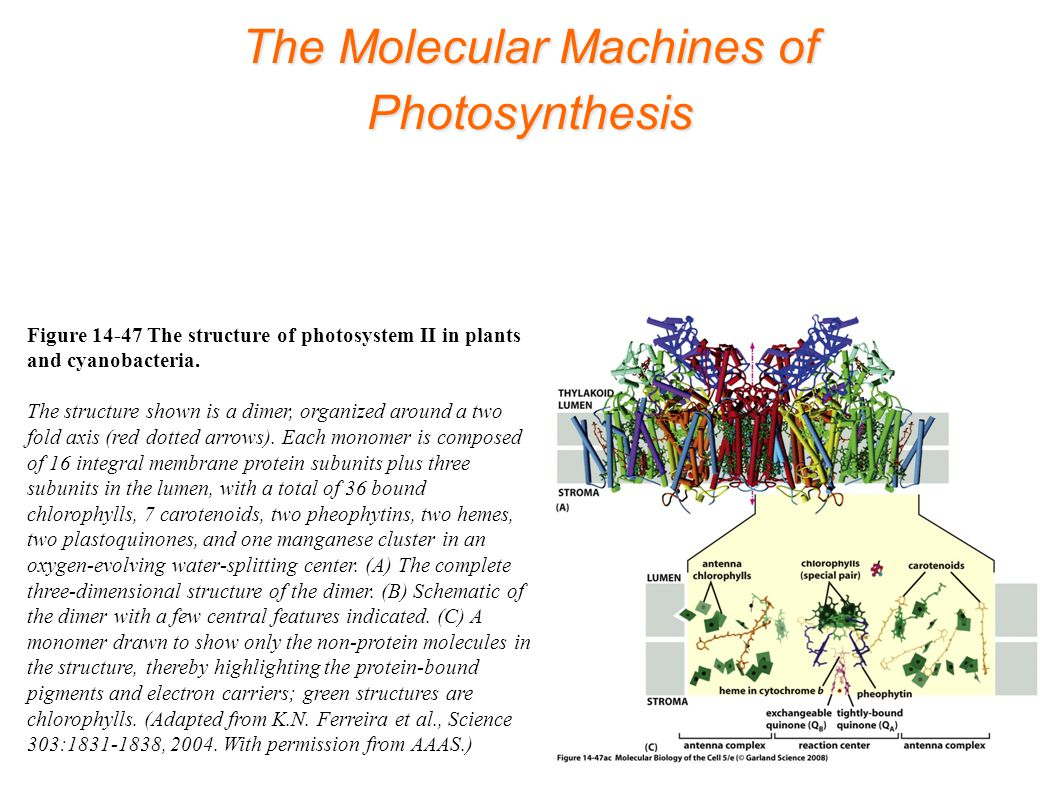 The Molecular Machines of Photosynthesis Figure 14-47 The structure of photosystem II in plants and cyanobacteria.
