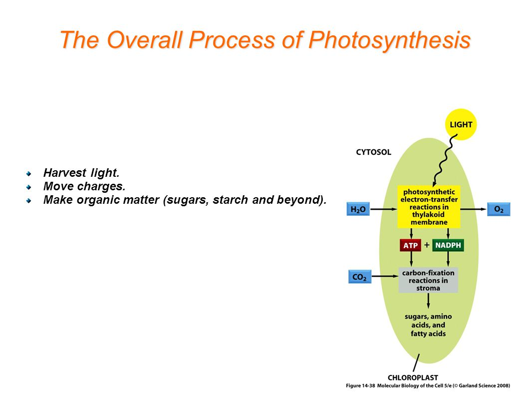 The Overall Process of Photosynthesis Harvest light.